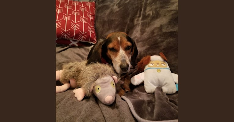 Photo of Astrid, a Beagle