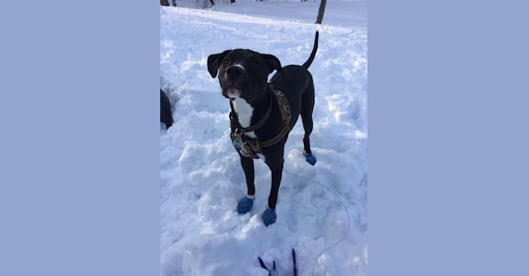 Photo of Eddie, an American Pit Bull Terrier, Black and Tan Coonhound, and Labrador Retriever mix in Batavia, Illinois, USA