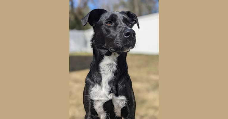 Photo of Kopa, an Australian Shepherd, American Pit Bull Terrier, Border Collie, and Mixed mix in Tennessee, USA