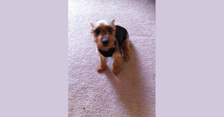 Photo of Bently, a Yorkshire Terrier  in Houston, TX, USA