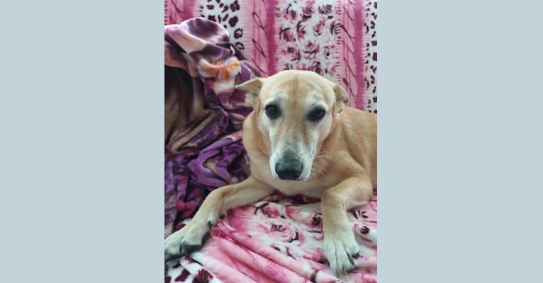 Photo of Toffee, a West Asian Village Dog  in Abu Dhabi, Abu Dhabi, United Arab Emirates
