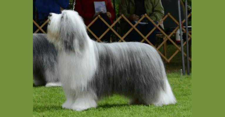 Photo of Beckham, a Bearded Collie  in USA