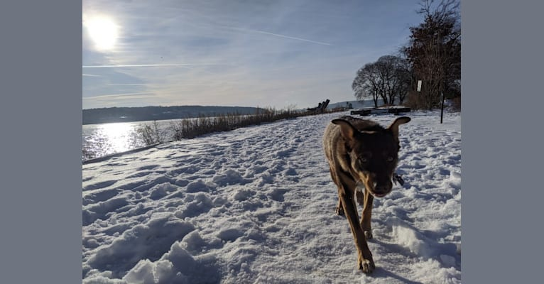 Photo of Odin, a Norwegian Elkhound, Miniature/MAS-type Australian Shepherd, American Bulldog, Australian Cattle Dog, and Australian Shepherd mix in Rochester, New York, USA