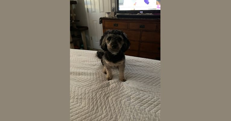 Photo of Bailey, a Dachshund, Yorkshire Terrier, Chihuahua, and Poodle (Small) mix in Evans, Colorado, USA
