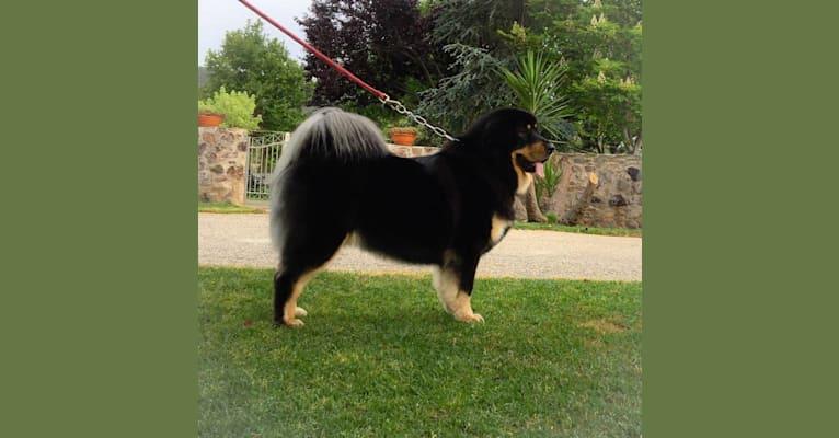 Photo of BAGIRA, a Tibetan Mastiff  in Serbia