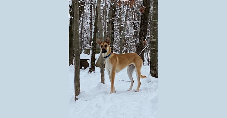 Photo of Loki, a Belgian Malinois and German Shepherd Dog mix in West Bend, Wisconsin, USA