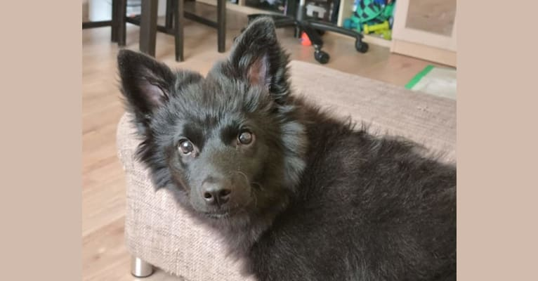 Photo of Füge, a Border Collie, Pomeranian, German Shepherd Dog, and Mixed mix in Budapest, Magyarország