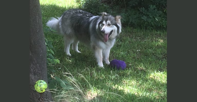 Photo of Cal (Excaliber), a German Shepherd Dog and Alaskan Malamute mix