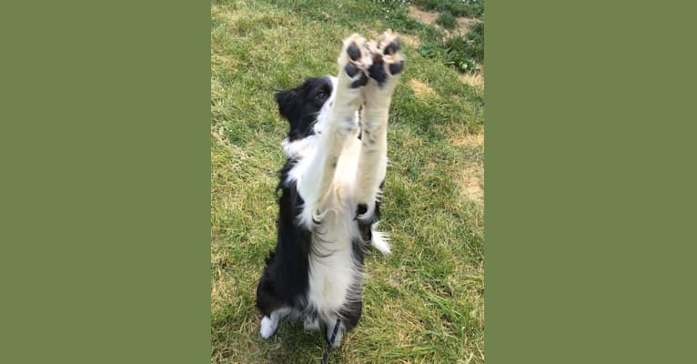 Photo of Kahlua, a Beagle, Golden Retriever, American Pit Bull Terrier, and Australian Shepherd mix in Indiana, USA