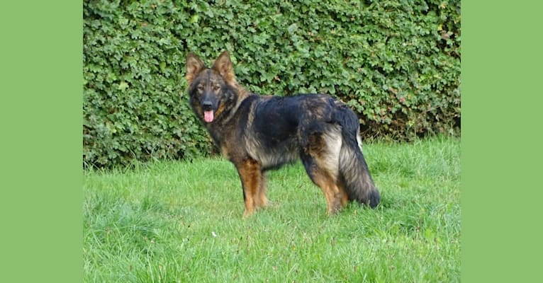 Photo of Chloë, a German Shepherd Dog  in Loenen, Gelderland, Nederland