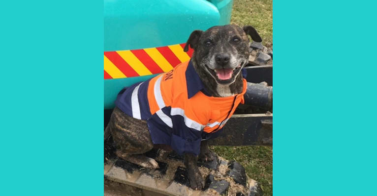 Photo of Mater, a Staffordshire Bull Terrier  in Springfield, New South Wales, Australia
