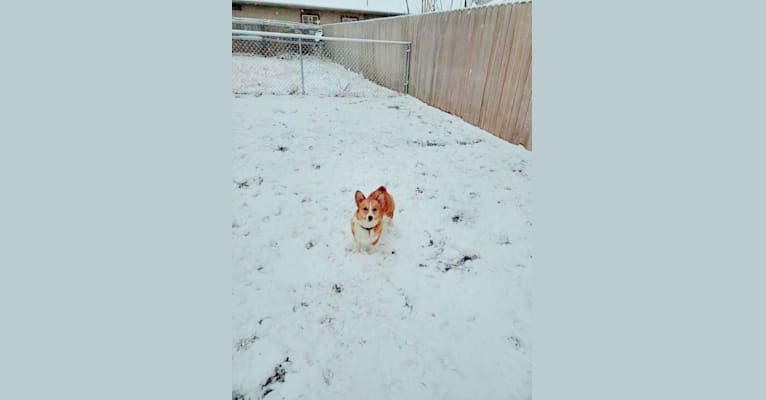 Photo of Ember, a Pembroke Welsh Corgi  in Wichita, Kansas, USA