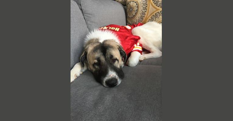 Photo of Roscoe, a Great Pyrenees and Anatolian Shepherd Dog mix in Auburn, Kansas, USA