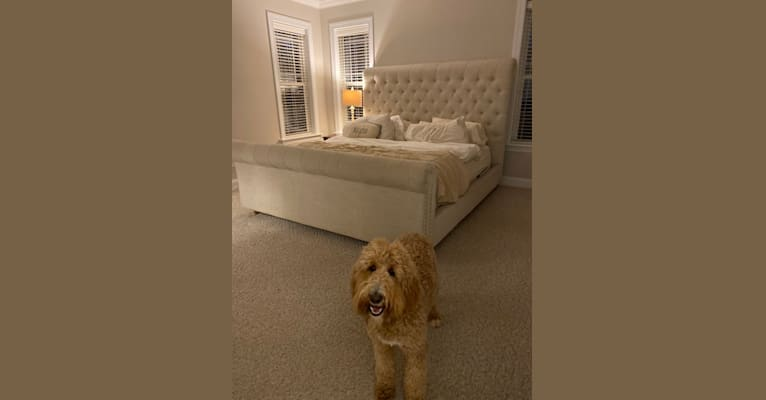 Photo of Sunflower, a Goldendoodle  in North Carolina, USA