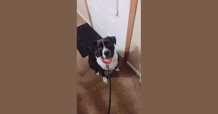 Photo of Roger, an American Bully, Rat Terrier, Chihuahua, and Pug mix in Tennessee, USA
