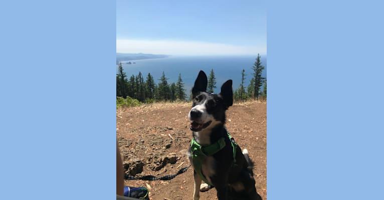 Photo of Izzy, a McNab  in Portland, Oregon, USA