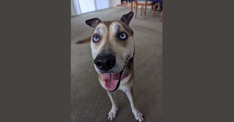 Photo of Leia, a Siberian Husky, American Pit Bull Terrier, and Mixed mix