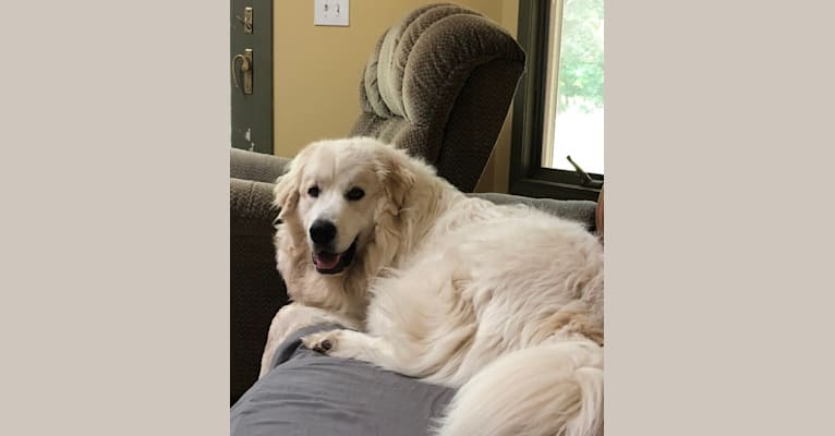 Photo of Cooper, a Great Pyrenees  in Greenville, Michigan, USA