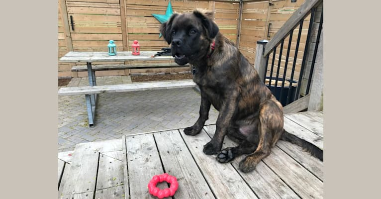 Photo of Bruce, a Cane Corso, American Bulldog, German Shepherd Dog, Russell-type Terrier, and Mixed mix in Hamilton, Ontario, Canada