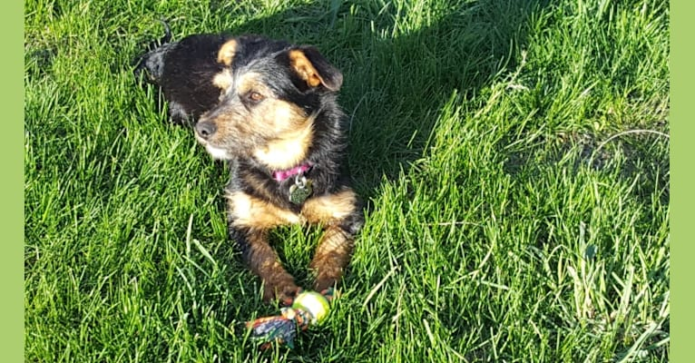 Photo of Mabel, a Labrador Retriever, American Pit Bull Terrier, Yorkshire Terrier, and Silky Terrier mix in Garden City, Kansas, USA