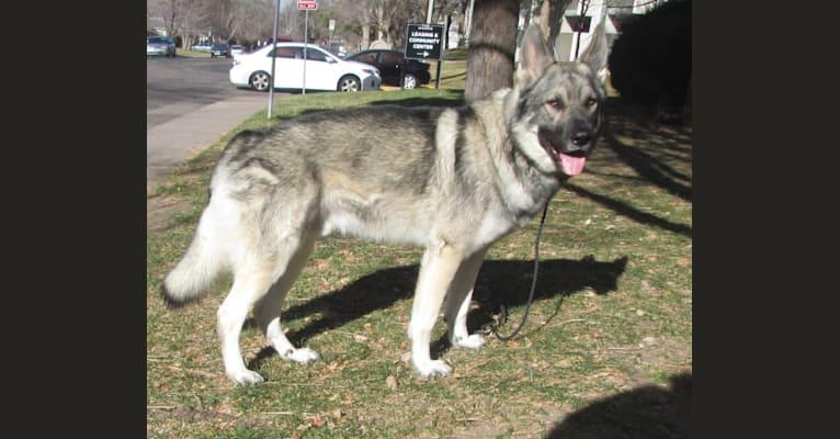Photo of Auggie, a German Shepherd Dog and Alaskan Malamute mix in Missouri, USA