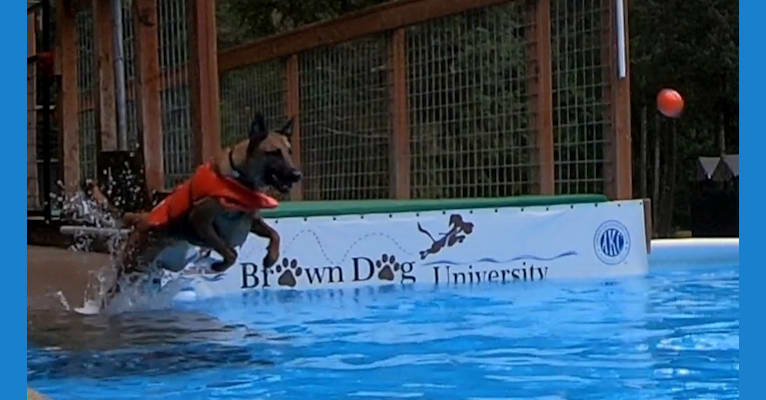 Photo of Bane, a Belgian Malinois, American Pit Bull Terrier, and German Shepherd Dog mix in Spanaway, WA, USA