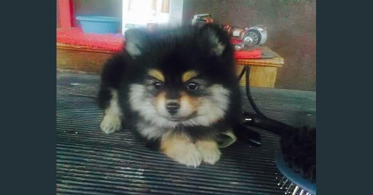 Photo of Boston, a Pomeranian  in Salt Lake City, UT, USA