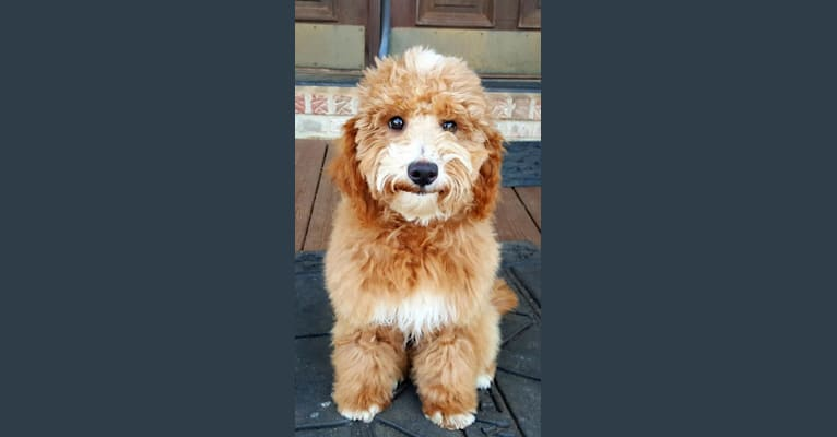 Photo of Spencer, a Goldendoodle