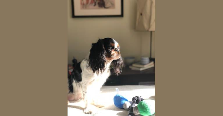 Photo of Beatrice (Bea), an English Toy Spaniel