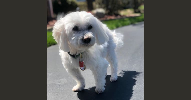 Photo of Sophie, a Havanese and Maltese mix
