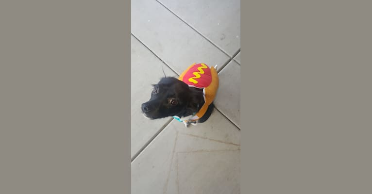 Photo of Reaper, a Chihuahua, Poodle (Small), and Mixed mix in Ontario, California, USA