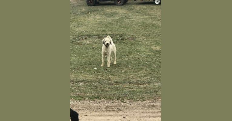 Photo of Lulu, a Poodle (Standard)