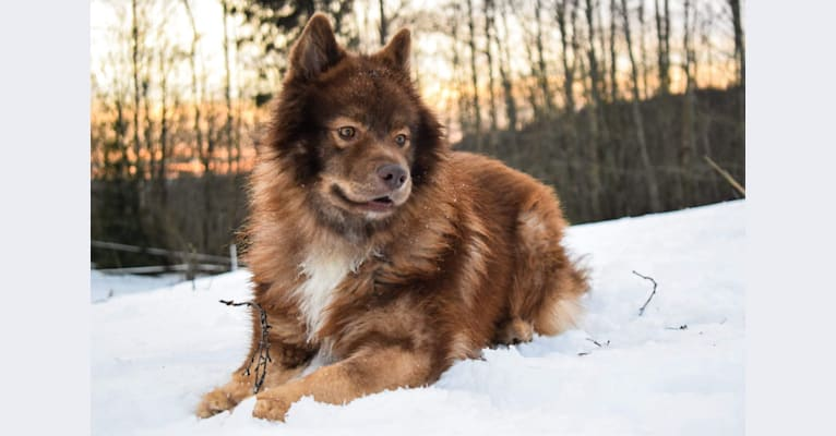 Photo of Peikkovuoren Tsohka, a Finnish Lapphund
