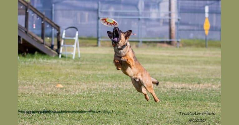 "Photo of KHs His Reign Has Just Begun ""Kaiser"" TKE DS, a German Shepherd Dog and Dutch Shepherd mix in Oklahoma City, OK, USA"