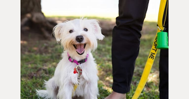 Photo of Happy, a Miniature Schnauzer