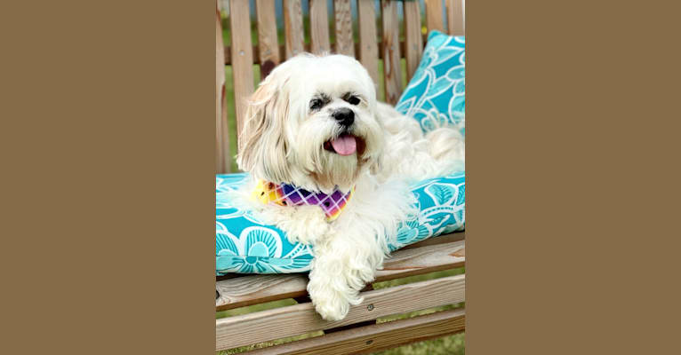 Photo of Zoe, a Lhasa Apso  in Pittsburgh, PA, USA