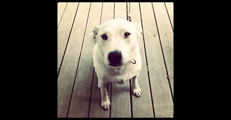 Photo of Jesse the Wonder Dog, a Catahoula Leopard Dog, American Pit Bull Terrier, Chow Chow, and Mixed mix in Tennessee, USA