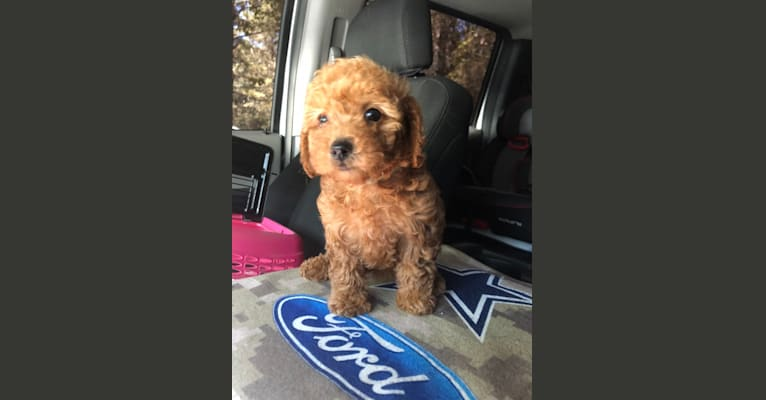 Photo of Cali, a Poodle (Small)  in 5814 Rattlesnake Road, Clinton, LA, USA