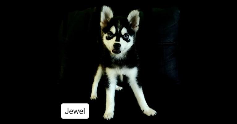 Photo of Jewel, a Pomsky