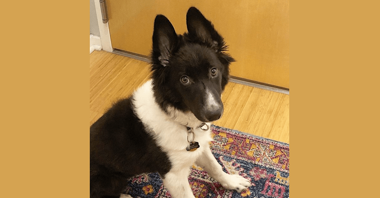 Photo of Pilot, a Border Collie, Australian Shepherd, and Siberian Husky mix