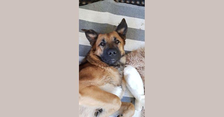 Photo of Roca, a German Shepherd Dog, Rottweiler, Samoyed, Saint Bernard, and Mixed mix in Finland