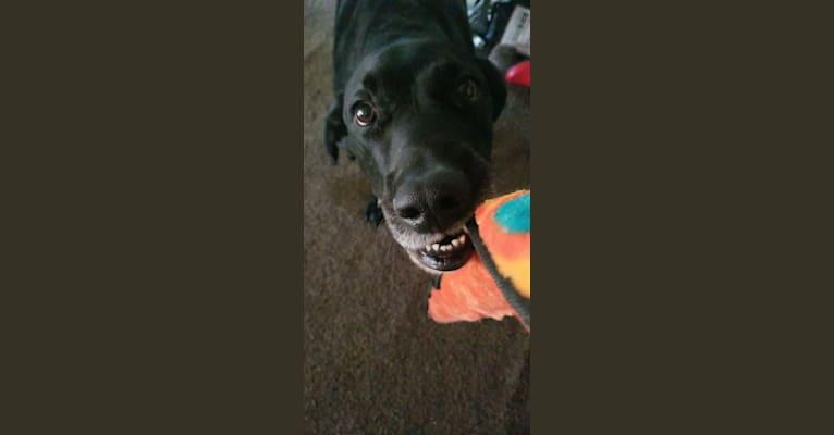 Photo of Barkley Humphrey Racine, a Bluetick Coonhound and Labrador Retriever mix in Indiana, USA