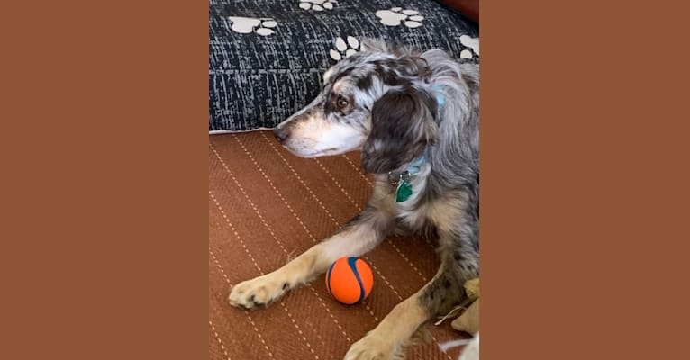 Photo of Conquest, an Australian Shepherd, Cocker Spaniel, Border Collie, and Mixed mix in Pittsburgh, Pennsylvania, USA