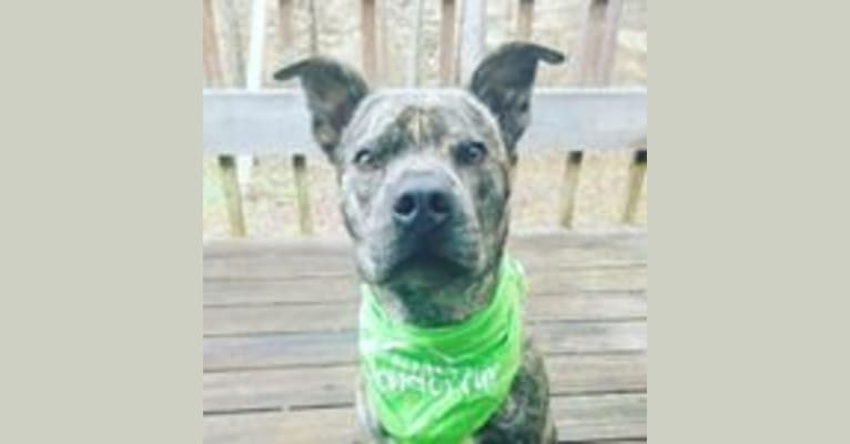 Photo of Paxton, an American Pit Bull Terrier, Boxer, and Chow Chow mix in Charlotte, North Carolina, USA
