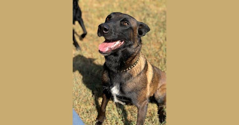 Photo of Flirt, a Belgian Shepherd  in Oklahoma City, OK, USA