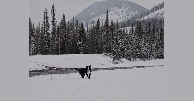 Photo of Deacon, a Border Collie  in Hanna, AB, Canada