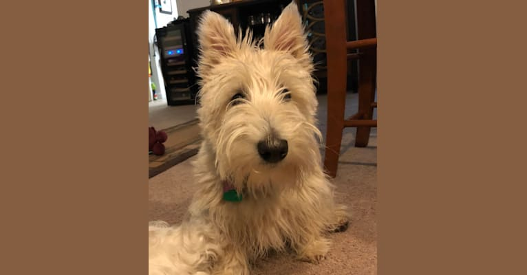 Photo of Emmy, a Scottish Terrier  in Vermont, USA