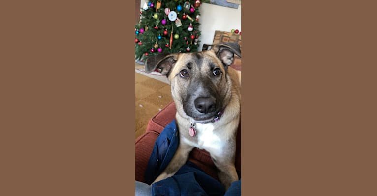 Photo of Violet, a German Shepherd Dog, Chow Chow, Boxer, and Mixed mix in Texas, USA