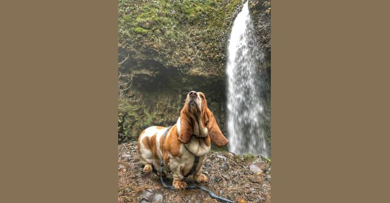 Photo of George Oscar Bluth Stevesies Sanderson-Summerlin (GOB), a Basset Hound  in Bellingham, WA, USA