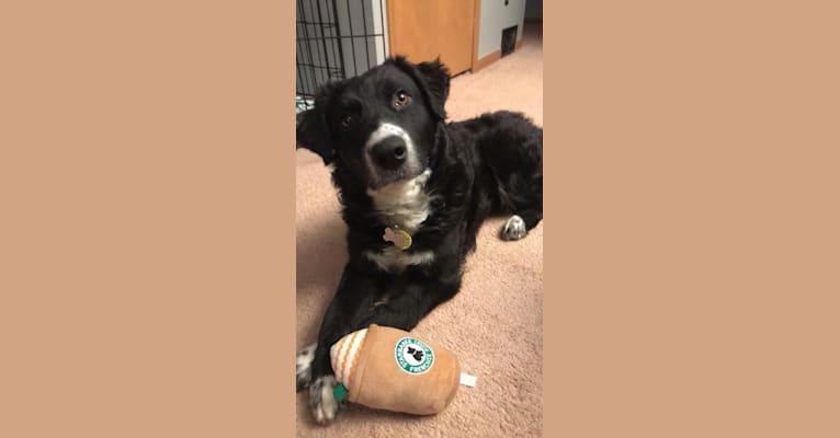 Photo of Luna, an Australian Cattle Dog, Saint Bernard, and Border Collie mix in Shelby Charter Township, Michigan, USA